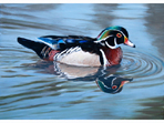 Acrylic painting of Carolina Wood Duck