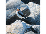 Contrasts, painting of a Wheatear