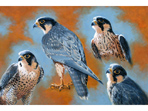 Acrylic painting of Peregrines
