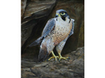 Peregrine painting in acrylics