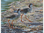 Redshanks, acrylics painting