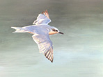Gull-billed Tern greetings card