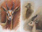 Large image of Dorcas Gazelles