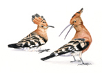 Hoopoes painting in watercolour
