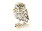 Little Owl painting in watercolour
