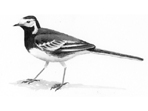 Pied Wagtail painting in watercolour