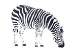 Zebra painting in watercolour