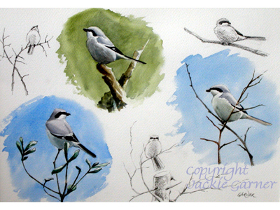 Sketches of Great Grey Shrike