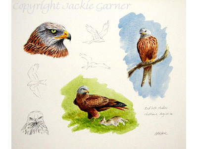 Red kite studies