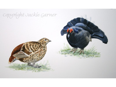 Watercolour painting of Black Grouse