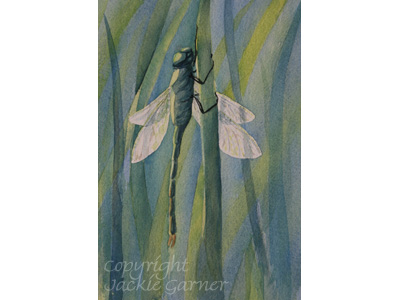 Dragonfly paintings - Emperor Dragonfly painting  in watercolour