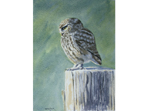 Watercolour painting of little Owl