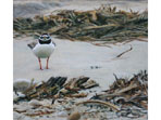 Acrylic painting of Ringed Plover